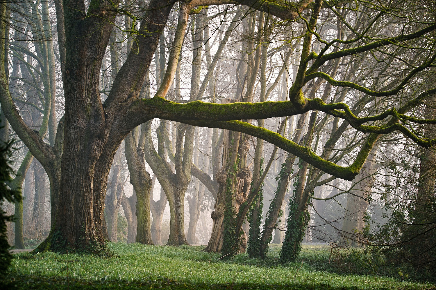 Trees in a forest with green grass and fog making trees in the background look like ghosts.